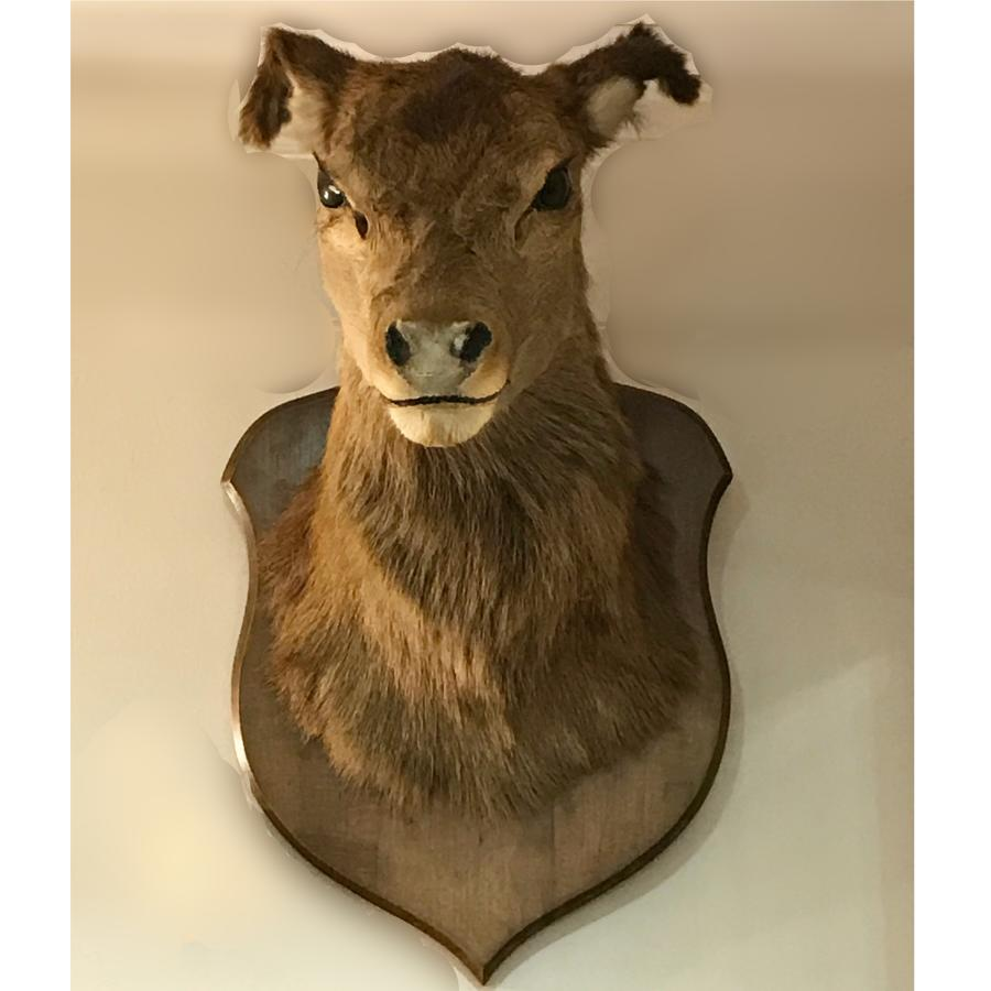 Large Deer head taxidermy